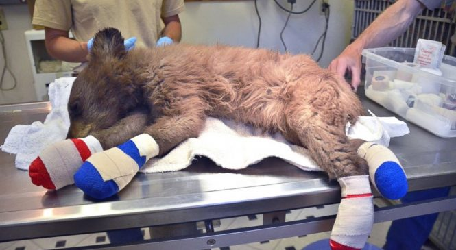 Bear cub with burnt paws rescued from Colorado wildfire