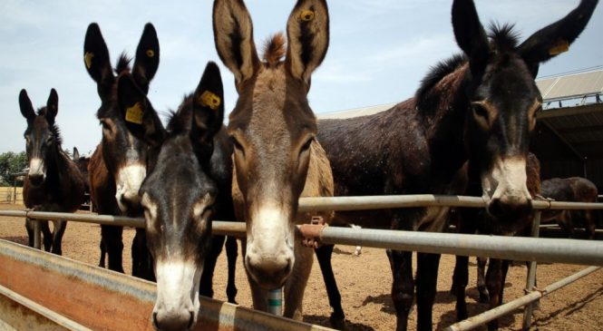 Donkeys stolen, skinned in Africa to feed Chinese demand