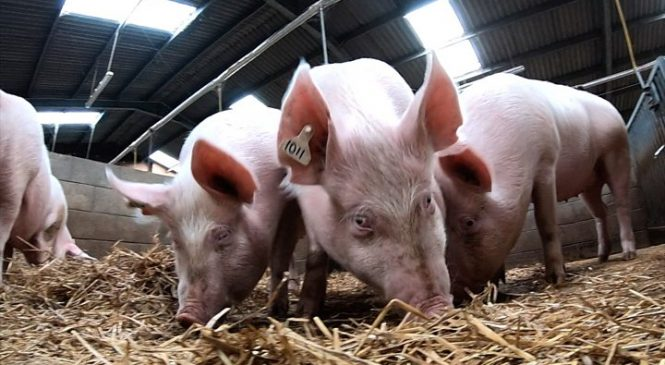 Gene-edited farm animals are on their way