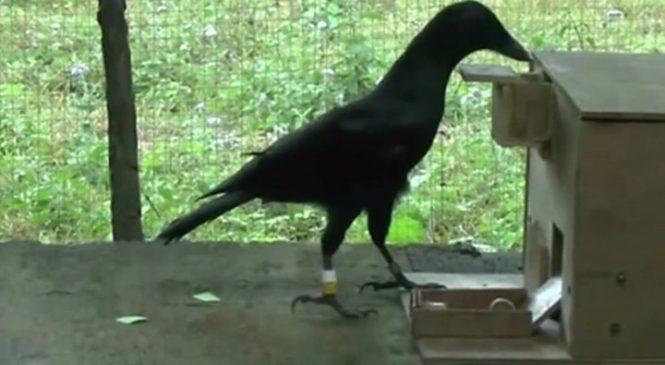 Crow vending machine skills 'redefine intelligence'