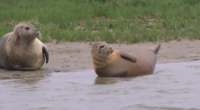 Seal baby boom hope for Thames