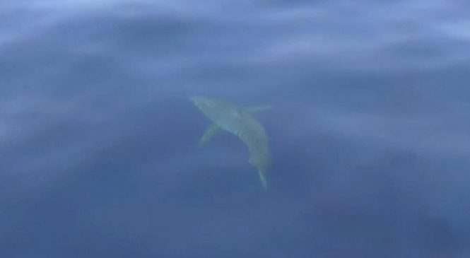 Shark sighted off Majorca, first great white there in 40 years