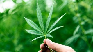 Medicinal uses for cannabis will be considered in the UK