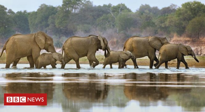 Legal EU ivory sales 'condemn elephants'