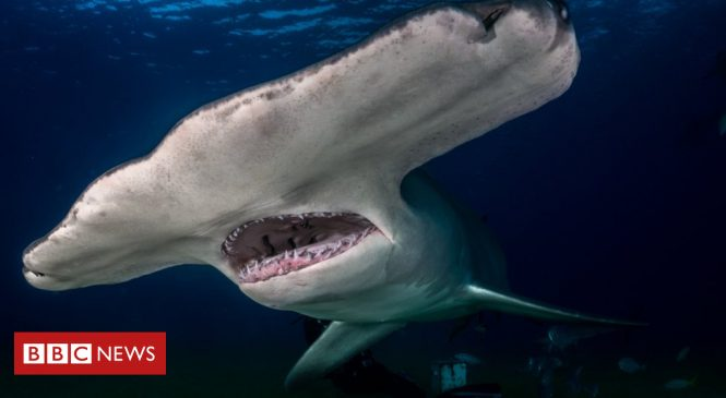 The new sharks coming to UK waters