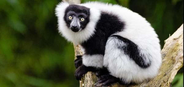Lemur losses could threaten Madagascar's largest tree species