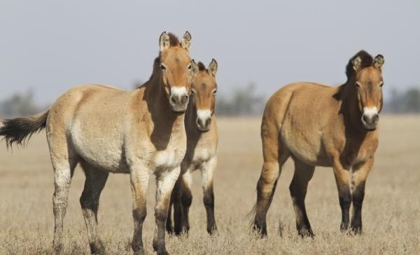 Understanding snorts can help horse caretakers improve animal welfare