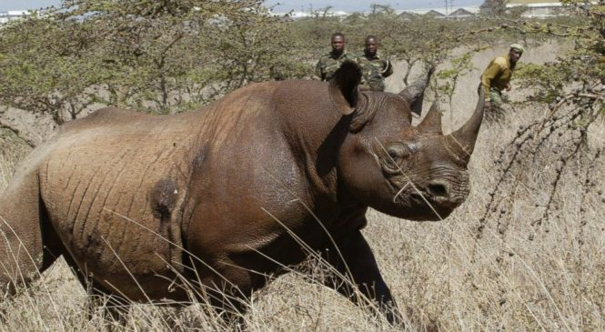 8 endangered black rhinos die in Kenya after relocation