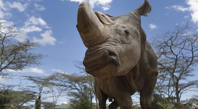 Embryo breakthrough 'can save northern white rhino'