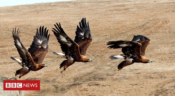 Golden eagle genome study 'a conservation game changer'