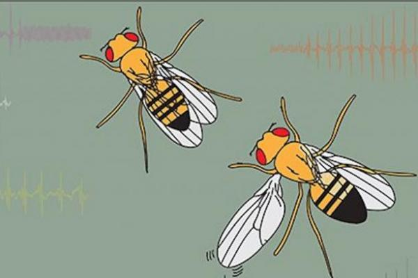 To attract mates, male fruit flies sing songs with their wings