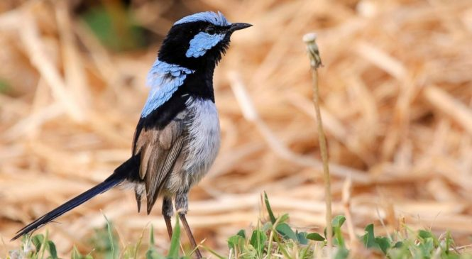 Birds learn another 'language' by eavesdropping on neighbors