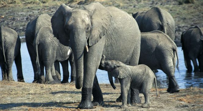 New 'zombie' gene found in elephants could help humans fight cancer