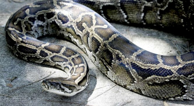 Hybrid snakes with ability to live in various areas unexpectedly discovered: Study