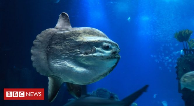 Tropical sunfish spotted in Highland waters