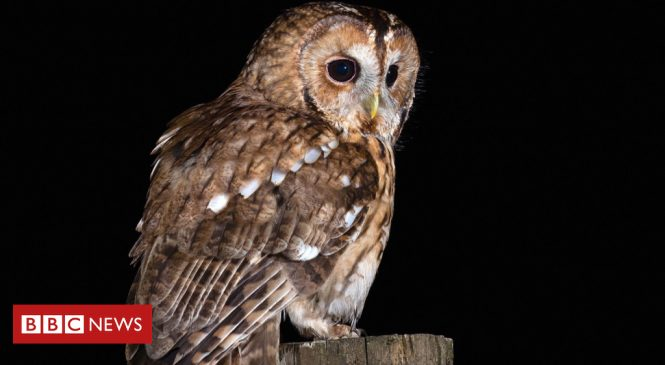 Tawny owl decline: Public urged to record 'twit-twoos'