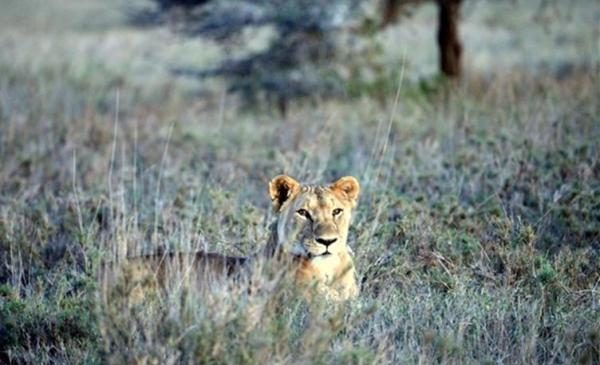 Lion comeback may put endangered Grevy's zebras in jeopardy