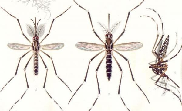 Male mosquitoes listen for approaching females using built-in amplifier