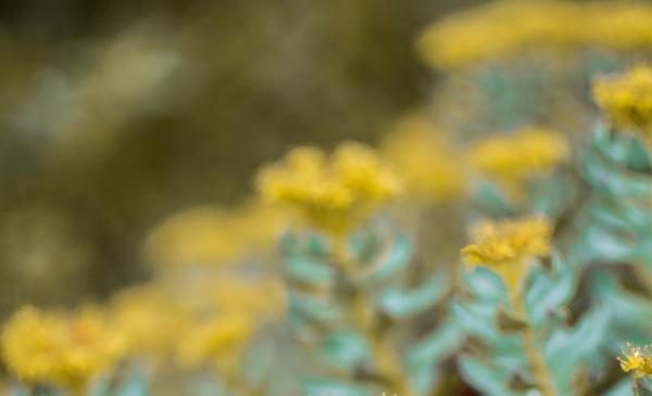 Compound from Rhodiola plant improved memory in mice in study