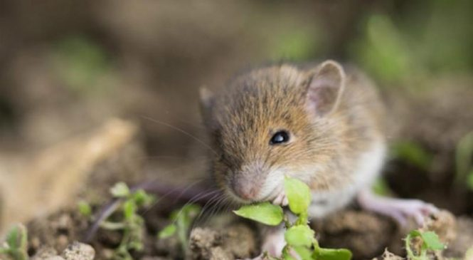 Mice raised communally fare better as adults