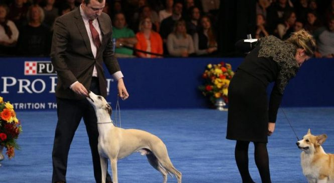 Whiskey the Whippet crowned winner at National Dog Show