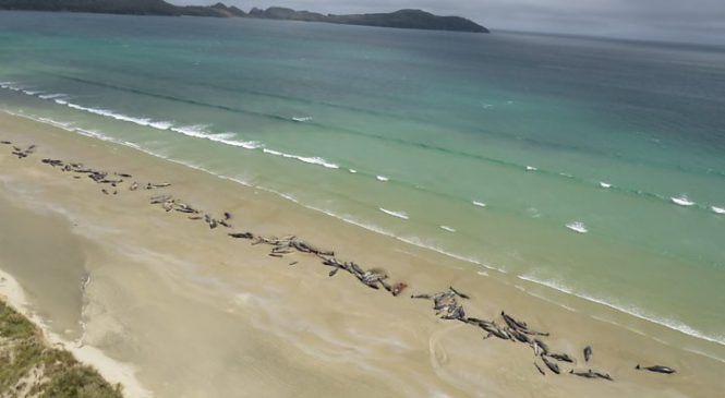 New Zealand beached whales: Why are so many getting stranded?