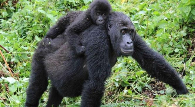 Genomic analysis details eastern gorilla's declining genetic health