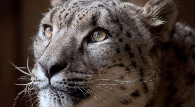 Zoo defends decision to kill escaped snow leopard