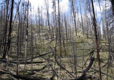 Yellowstone's forests could be grassland in just a few decades