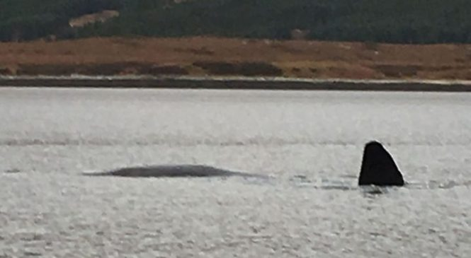 No sign of 'distressed sperm whale' in loch