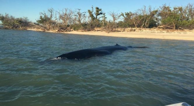 Rare Bryde's whale washes ashore in Everglades National Park