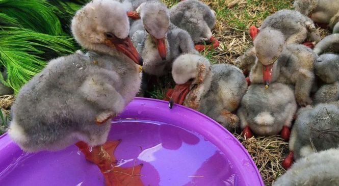 Special airlift for baby flamingos in peril in South Africa
