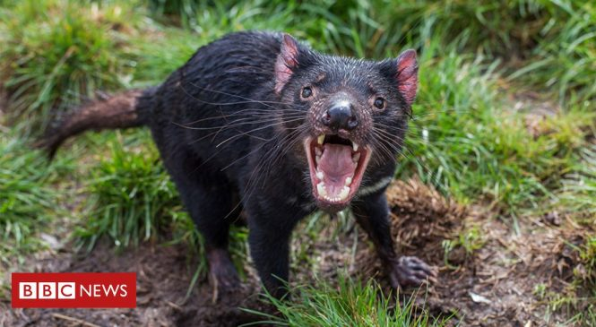 Tasmanian devils 'adapting to coexist with cancer'