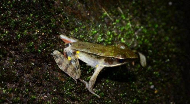 Common Costa Rican frog species consists of several 'cryptic' species