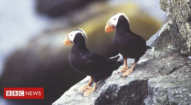 Climate change link to puffin deaths