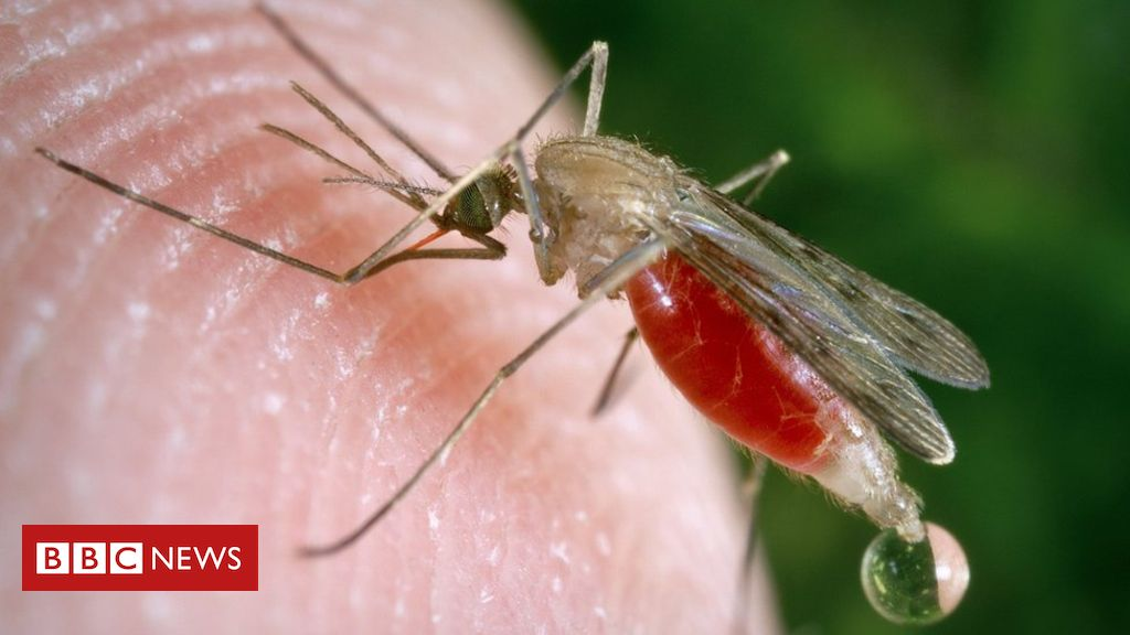 GM fungus rapidly kills 99% of malaria mosquitoes, study suggests