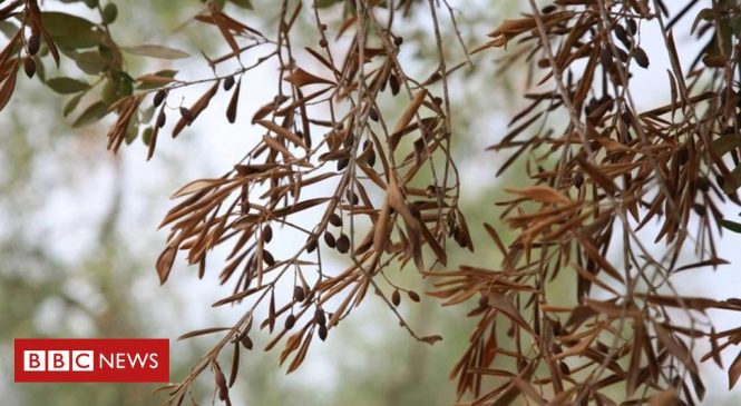 Olive tree killer disease still poses risk to Europe