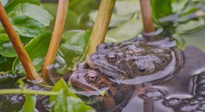 Climate change is helping spread a deadly virus among frogs in Britain
