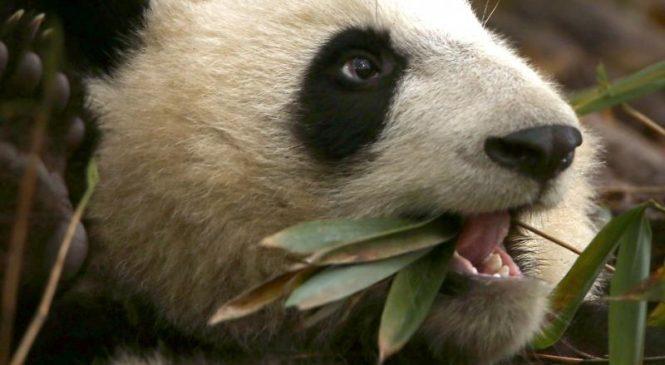 Pandas descend from carnivores, despite vegetarian diet