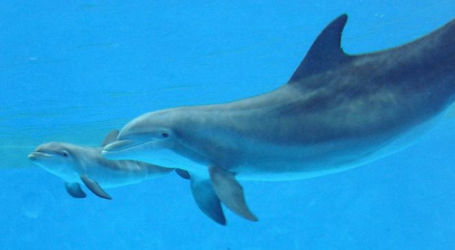 Protective genes help dolphins survive certain ecosystems, study says