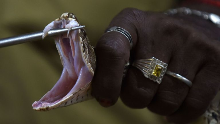 An Indian snake catcher holds open the jaws of a venomous Russell's viper