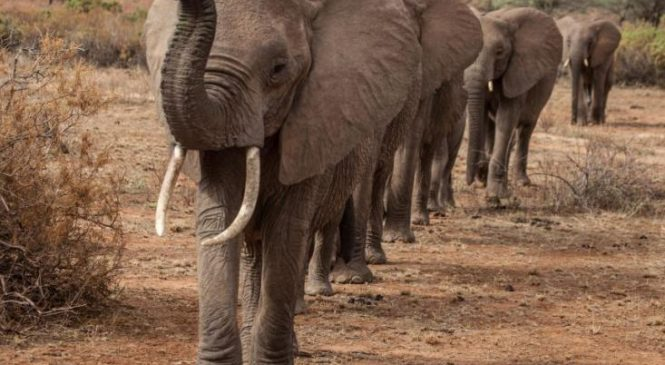 Elephants take more direct paths through dangerous territory