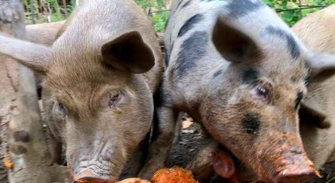 World organization launches initiative to eradicate African swine fever