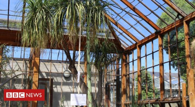 Mystery 'tequila plant' agave to flower in Cambridge after 57 years