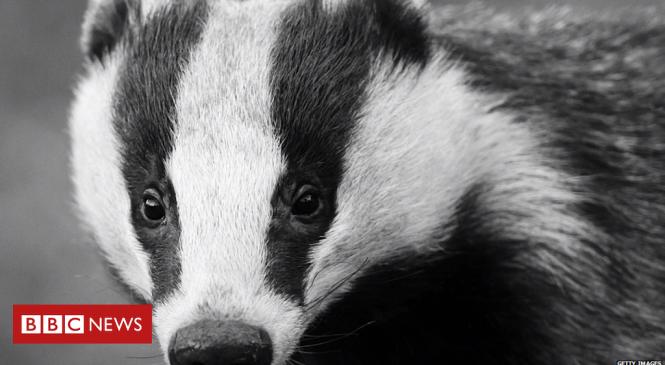Badgers lead mammal roadkill list