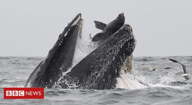Whale 'swallows' sea lion: 'It was a once-in-a-lifetime event'