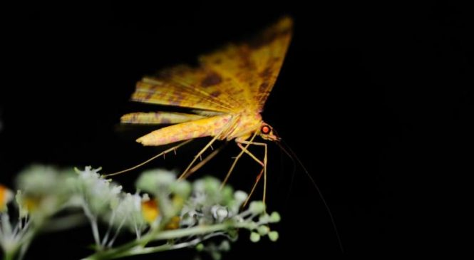 Wildfires disrupt moth-flower relationships, increasing risk of extinctions