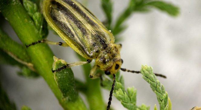 Tiny beetles munch through endangered songbird habitat