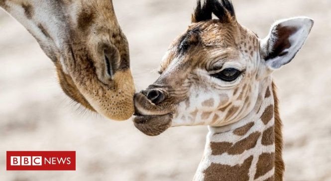 Giraffes given greater protection from unregulated trade as numbers fall