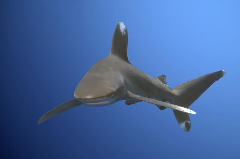 Commercial fishing to blame for planet's declining shark numbers